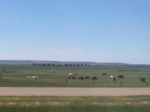Des vaches et des trains!